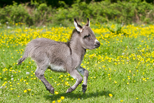 MAM 14 KH0097 01 © Kimball Stock Miniature Donkey Colt Galloping In Meadow Of Buttercups