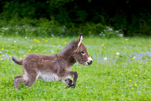 MAM 14 KH0099 01 © Kimball Stock Miniature Donkey Colt Galloping In Meadow Of Buttercups