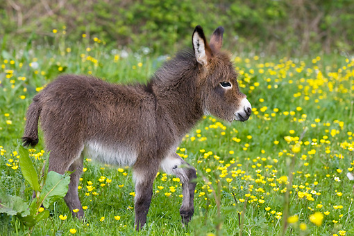MAM 14 KH0100 01 © Kimball Stock Miniature Donkey Colt   Walking In Meadow Of Buttercups