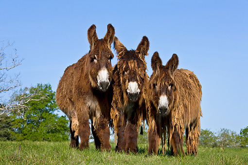 MAM 14 KH0105 01 © Kimball Stock Three Poitou Donkeys Standing In Meadow