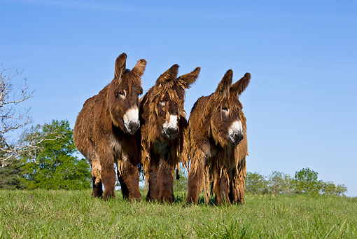 MAM 14 KH0106 01 © Kimball Stock Three Poitou Donkeys Standing In Meadow