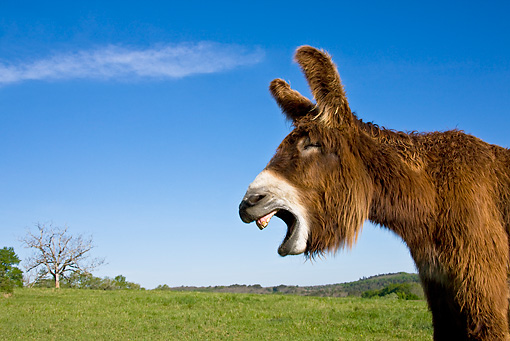 MAM 14 KH0109 01 © Kimball Stock Portrait Of Poitou Donkey Braying In Meadow