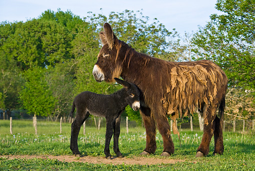 MAM 14 KH0111 01 © Kimball Stock Poitou Donkey Colt Nuzzling Mother In Meadow