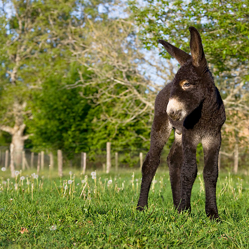 MAM 14 KH0112 01 © Kimball Stock Poitou Donkey Colt Standing In Meadow
