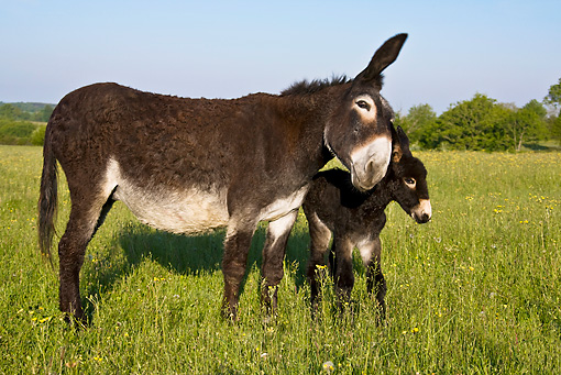 MAM 14 KH0115 01 © Kimball Stock Grand Noir Du Berry Donkey Mother And Newborn Foal Standing In Meadow France