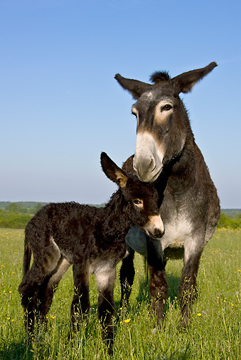 MAM 14 KH0117 01 © Kimball Stock Grand Noir Du Berry Donkey Mother And Newborn Foal Standing In Meadow France