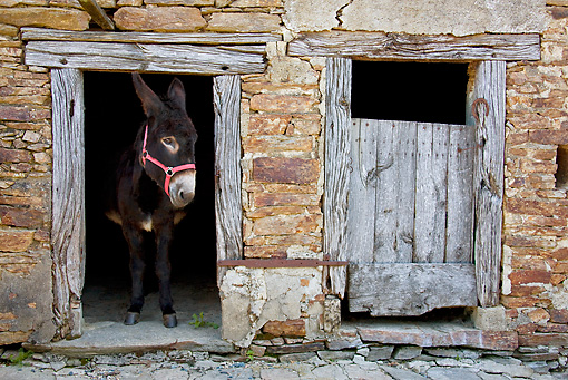 MAM 14 KH0130 01 © Kimball Stock Common Donkey Peeking Head Out Of Old Barn France