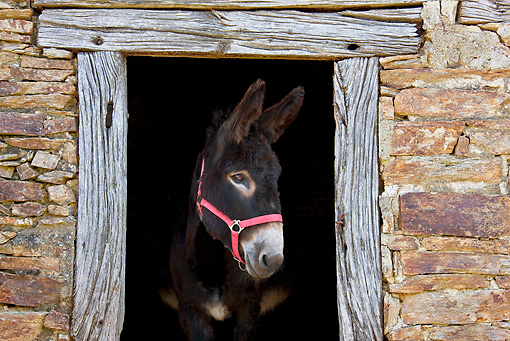 MAM 14 KH0131 01 © Kimball Stock Common Donkey Peeking Head Out Of Old Barn France