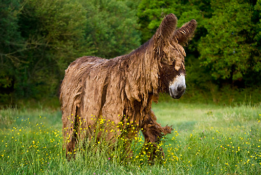 MAM 14 KH0133 01 © Kimball Stock Poitou Donkey Walking In Flowery Meadow France