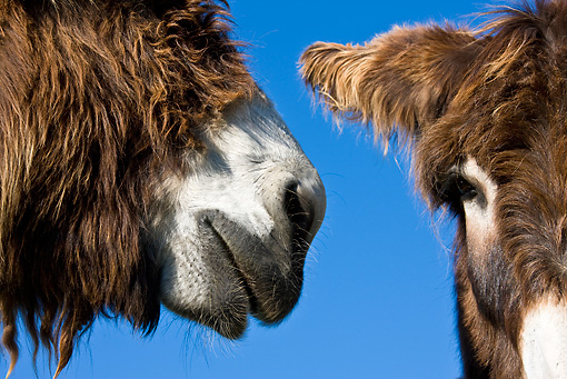 MAM 14 KH0142 01 © Kimball Stock Close-Up Of Poitou Donkeys Nose To Eye Against Blue Sky France