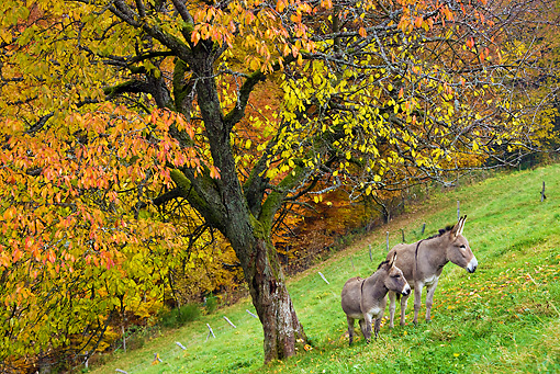 MAM 14 KH0148 01 © Kimball Stock Common Donkey And Contentin Donkey Standing Under Autumn Tree