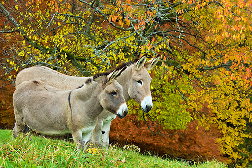 MAM 14 KH0149 01 © Kimball Stock Common Donkey And Contentin Donkey Standing Under Autumn Tree