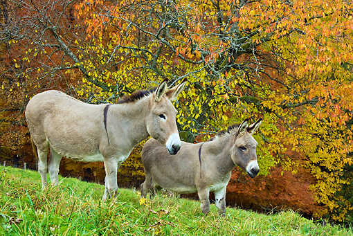 MAM 14 KH0150 01 © Kimball Stock Common Donkey And Contentin Donkey Standing Under Autumn Tree