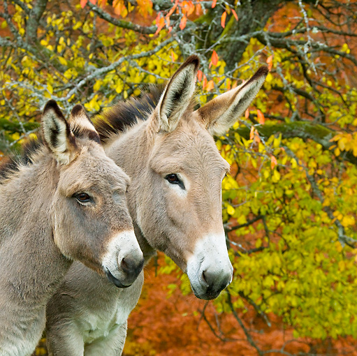MAM 14 KH0151 01 © Kimball Stock Head Shot Of Common Donkey And Contentin Donkey Standing Under Autumn Tree
