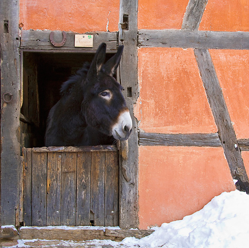 MAM 14 KH0152 01 © Kimball Stock Grand Noir du Berry Donkey Peeking Head Out Of Stable In Snow