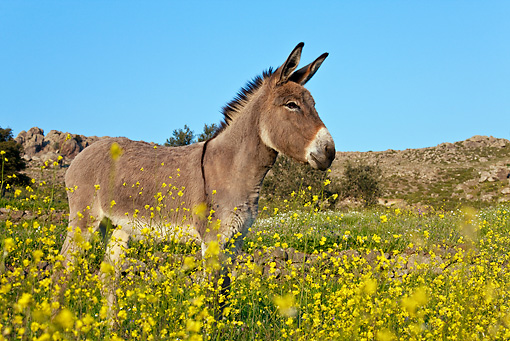 MAM 14 KH0153 01 © Kimball Stock Male Common Donkey Standing In Field Of Yellow Wildflowers Greece
