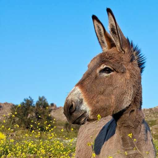 MAM 14 KH0154 01 © Kimball Stock Head Shot Of Male Contentin Donkey Standing In Field Of Yellow Wildflowers Greece