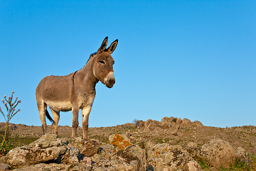 MAM 14 KH0155 01 © Kimball Stock Male Contentin Donkey Standing On Rocks Greece