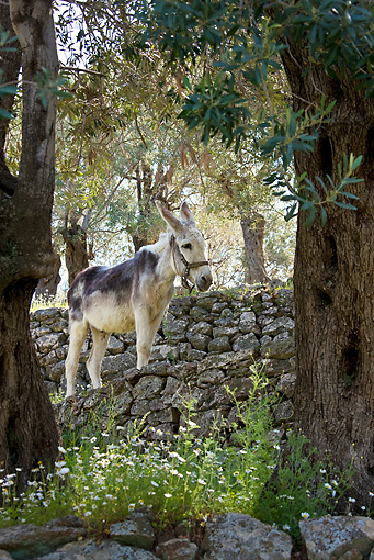 MAM 14 KH0156 01 © Kimball Stock Donkey Standing On Flowered Terrace In Olive Grove Greece