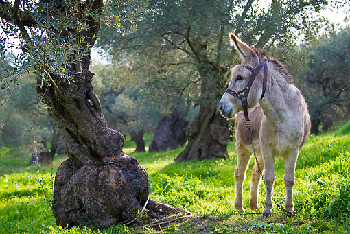 MAM 14 KH0157 01 © Kimball Stock Donkey Tethered To Tree In Olive Grove In Spring Greece