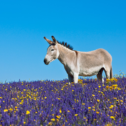 MAM 14 KH0161 01 © Kimball Stock Contentin Donkey Standing In Field Of Lavender And Asteraceae Provence, France