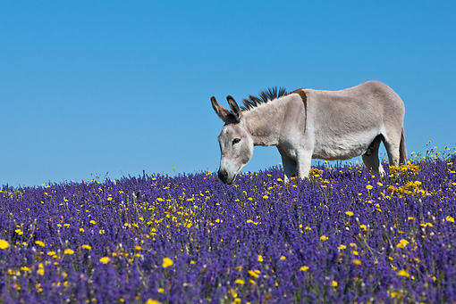 MAM 14 KH0162 01 © Kimball Stock Contentin Donkey Standing In Field Of Lavender And Asteraceae Provence, France