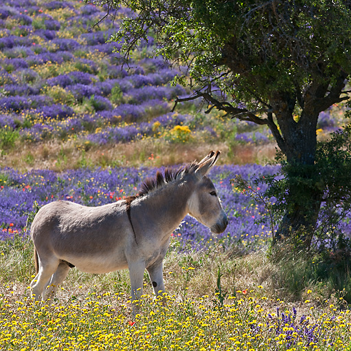 MAM 14 KH0163 01 © Kimball Stock Contentin Donkey Standing In Field Of Lavender, Poppies And Asteraceae Provence, France