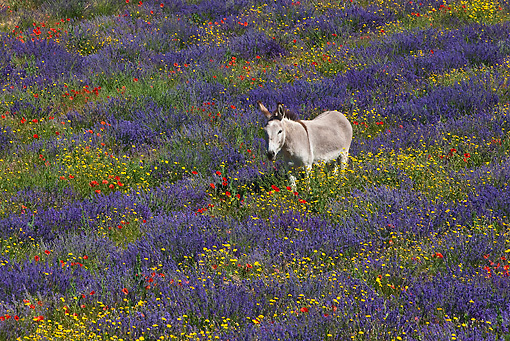MAM 14 KH0164 01 © Kimball Stock Contentin Donkey Standing In Field Of Lavender, Poppies And Asteraceae Provence, France