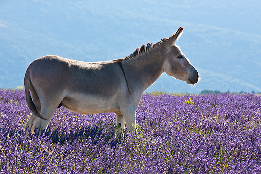 MAM 14 KH0165 01 © Kimball Stock Contentin Donkey Standing In Field Of Lavender And Asteraceae Provence, France