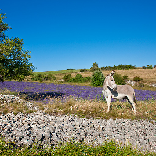 MAM 14 KH0166 01 © Kimball Stock Contentin Donkey Standing At Edge Of Lavender Field By Rocks Provence, France