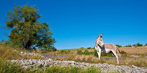 MAM 14 KH0167 01 © Kimball Stock Contentin Donkey Standing At Edge Of Lavender Field By Rocks Provence, France