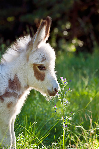 MAM 14 KH0168 01 © Kimball Stock Portrait Of Miniature Donkey Standing In Meadow France