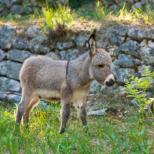 MAM 14 KH0171 01 © Kimball Stock Gray Miniature Donkey Standing On Grass By Stone Wall France