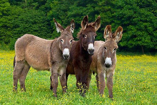 MAM 14 KH0178 01 © Kimball Stock Three Young Normandy Donkeys Standing In Field Of Buttercups Normandy