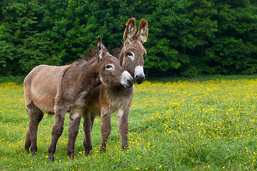 MAM 14 KH0183 01 © Kimball Stock Two Young Normandy Donkeys Standing In Field Of Buttercups Normandy