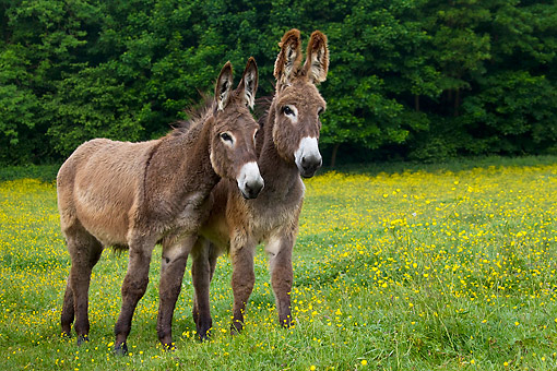 MAM 14 KH0184 01 © Kimball Stock Two Young Normandy Donkeys Standing In Field Of Buttercups Normandy