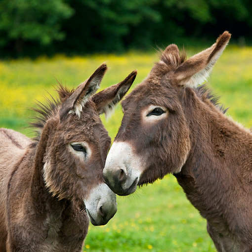 MAM 14 KH0185 01 © Kimball Stock Two Young Normandy Donkeys Nuzzling In Field Of Buttercups Normandy