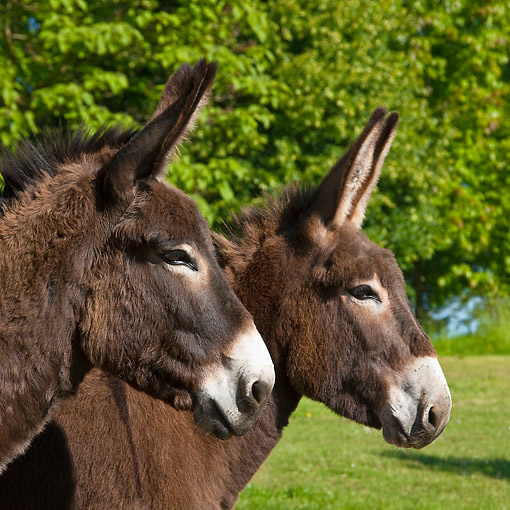 MAM 14 KH0186 01 © Kimball Stock Portrait Of Two Normandy Donkeys In Field Of Buttercups Normandy