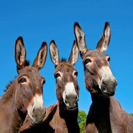 MAM 14 KH0189 01 © Kimball Stock Portrait Of Three Normandy Donkeys Against Blue Sky Normandy