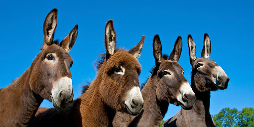MAM 14 KH0190 01 © Kimball Stock Portrait Of Four Normandy Donkeys Against Blue Sky Normandy