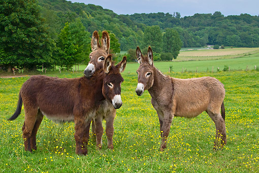 MAM 14 KH0192 01 © Kimball Stock Three Young Normandy Donkeys Standing In Field Of Buttercups Normandy
