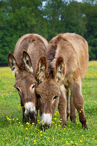 MAM 14 KH0194 01 © Kimball Stock Two Young Normandy Donkeys Grazing In Field Of Buttercups Normandy