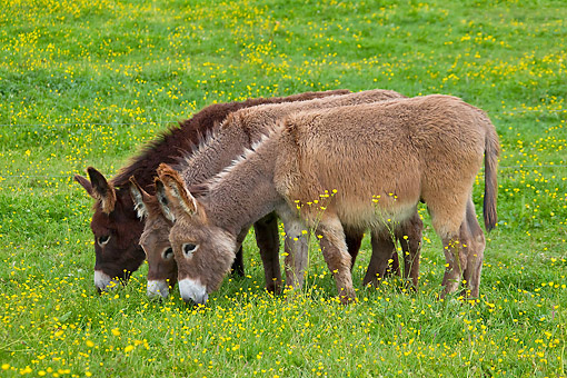 MAM 14 KH0195 01 © Kimball Stock Three Young Normandy Donkeys Grazing In Field Of Buttercups Normandy