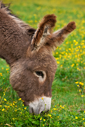 MAM 14 KH0197 01 © Kimball Stock Head Shot Of Young Normandy Donkey Grazing In Field Of Buttercups Normandy
