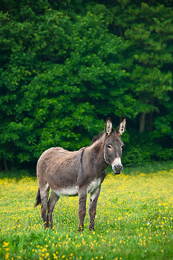 MAM 14 KH0199 01 © Kimball Stock Normandy Donkey Standing In Field Of Buttercups Normandy