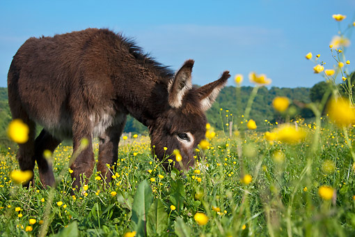 MAM 14 KH0202 01 © Kimball Stock Young Normandy Donkey Grazying In Field Of Buttercups Normandy