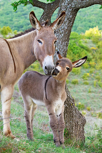 MAM 14 KH0203 01 © Kimball Stock Portrait Of Provence Donkey And Foal Grazing In Meadow France