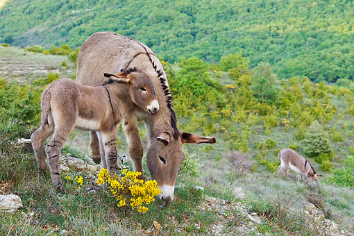 MAM 14 KH0204 01 © Kimball Stock Portrait Of Provence Donkey And Colt Grazing On Hillside France