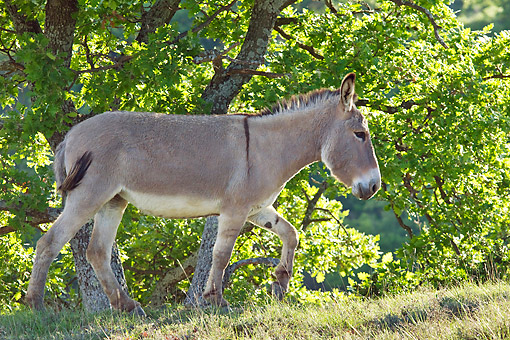 MAM 14 KH0207 01 © Kimball Stock Provence Donkey Walking Through Foliage France