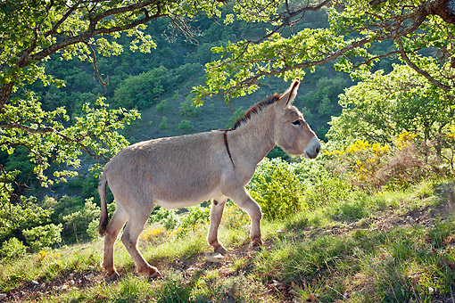 MAM 14 KH0208 01 © Kimball Stock Provence Donkey Walking Through Foliage France